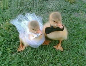 Ducklings getting married.