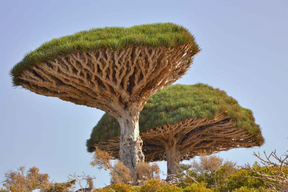 Dragonsblood tree